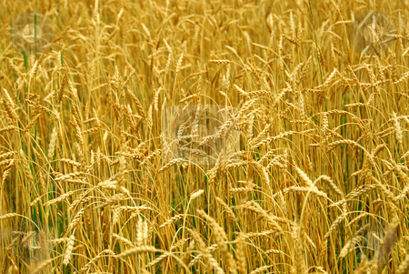 Grain field stock photo, Grain ready for harvest growing in a farm field by Elena Elisseeva