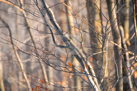 Winter forest stock photo, Tree branches in winter forest illuminated by afternoon sun by Elena Elisseeva