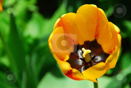 Yellow tulip stock photo, Beautiful yellow tulip on lush green background by Elena Elisseeva