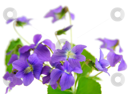 Violets stock photo, Bouquet of fresh violets isolated on white background by Elena Elisseeva