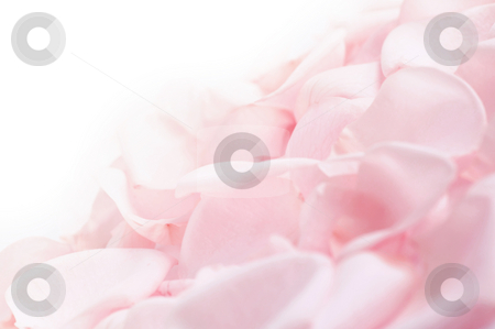 Pink rose petals stock photo, Abstract background of fresh pink rose petals by Elena Elisseeva