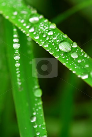 Raindrops on grass stock photo, Big water drops on green grass blades, macro by Elena Elisseeva