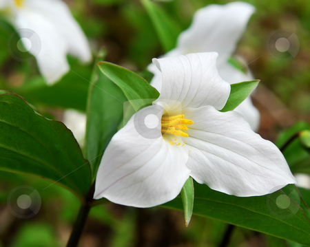 White Trillium stock photo, White Trillium blooming in woodlands Ontario provincial flower by Elena Elisseeva