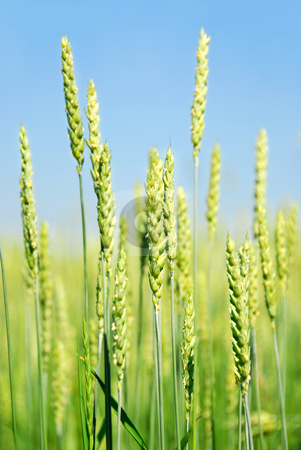 Green grain stock photo, Green young grain growing in a farm field by Elena Elisseeva