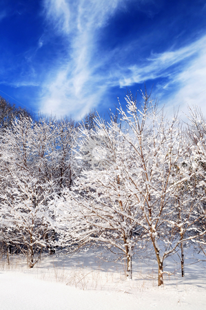 Winter forest stock photo, Winter landscape of a sunny forest after a heavy snowfall by Elena Elisseeva