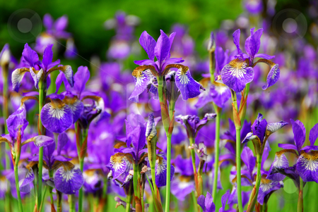 Garden of Irises stock photo, Beautiful purple irises blooming in spring time by Elena Elisseeva