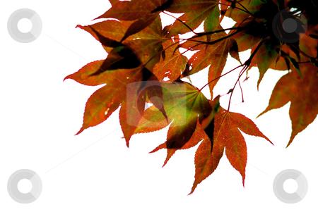 Japanese maple leaves stock photo, Japanese maple leaves on white background by Elena Elisseeva