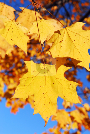 Fall maple leaves stock photo, Yellow maple leaves in a fall park, close up by Elena Elisseeva