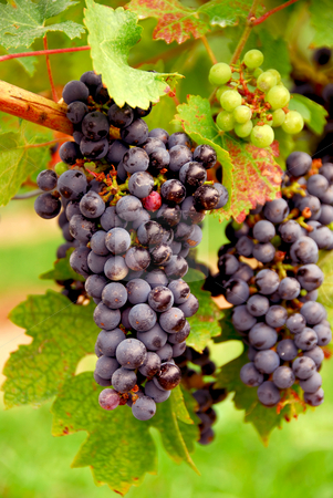 Red grapes stock photo, Bunches of red grapes growing on a vine by Elena Elisseeva