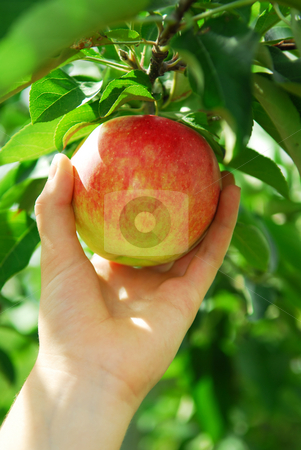 Picking an apple stock photo, Closeup on a hand picking a red apple from an apple tree by Elena Elisseeva