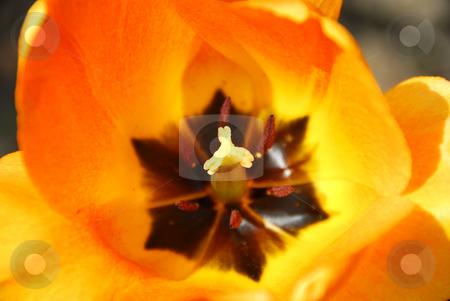 Tulip stock photo, Center of a bright orange spring tulip by Elena Elisseeva