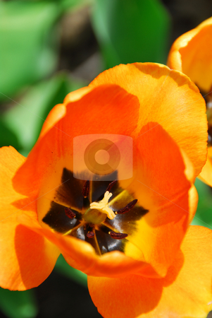 Tulip  stock photo, Bright orange spring tulip close up on green background by Elena Elisseeva