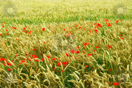 Poppies in rye stock photo, Red poppy flowers growing in green rye grain field by Elena Elisseeva