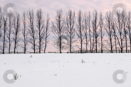 Rural winter landscape stock photo, Winter landscape with a row of tall trees at sunset by Elena Elisseeva