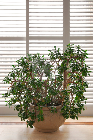 House plant stock photo, House plant jade tree in a pot and glass wall with blinds by Elena Elisseeva