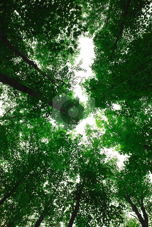 Treetops stock photo, Green tops of tall maple trees by Elena Elisseeva