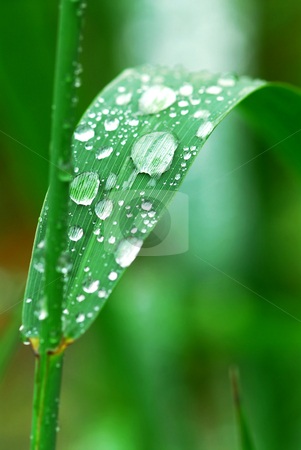 Raindrops on grass stock photo, Big water drops on a green grass blade by Elena Elisseeva