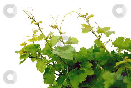 Grape vines stock photo, Branches of grape vines on white background by Elena Elisseeva