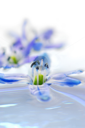 Floating flowers stock photo, Blue flowers floating in water extreme macro by Elena Elisseeva