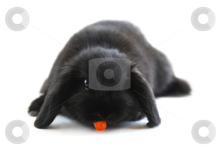 Bunny rabbit stock photo, Black holland lop bunny rabbit eating a carrot isolated on white background by Elena Elisseeva