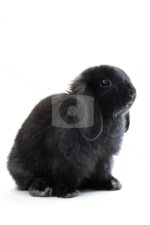 Bunny rabbit stock photo, Black holland lop bunny rabbit isolated on white background by Elena Elisseeva