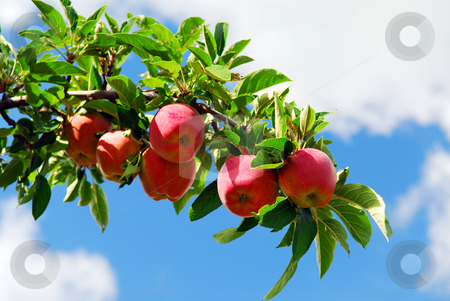 Apples on a branch stock photo, Red ripe apples on apple tree branch, blue sky background by Elena Elisseeva