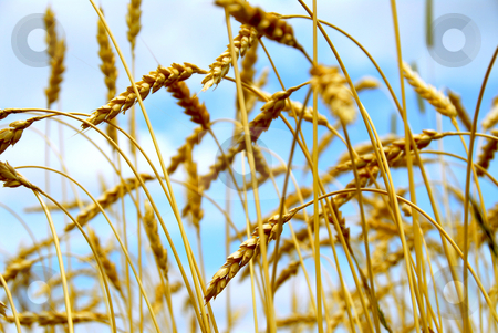 Grain field stock photo, Grain ready for harvest growing in a farm field by Elena Elisseeva