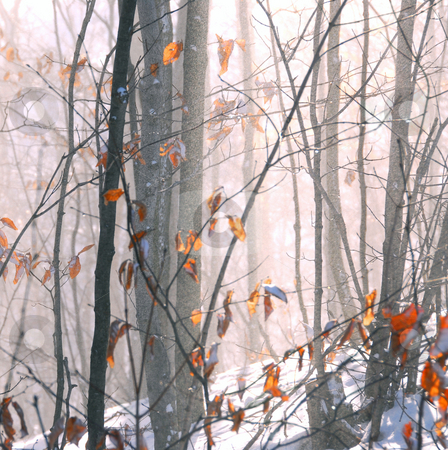 Winter forest stock photo, Winter forest with snow dust blowing across by Elena Elisseeva