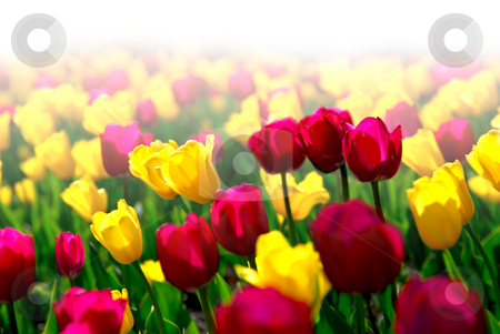 Tulip field stock photo, Field of colorful yellow and purple tulips with faded white background by Elena Elisseeva