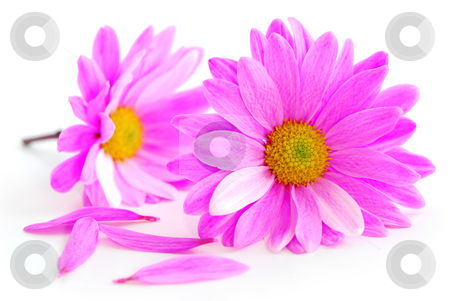 Pink flowers stock photo, Closeup of pink flower blossoms on white background by Elena Elisseeva