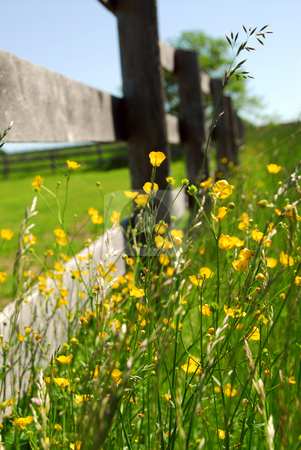 Summer meadow stock photo, Yellow buttercups growing near farm fence in a green meadow by Elena Elisseeva