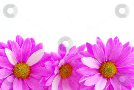 Pink flowers stock photo, Border of pink flowers close up on white background by Elena Elisseeva
