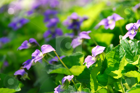 Violets stock photo, Violets blooming in a garden in early spring by Elena Elisseeva