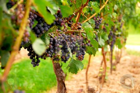 Grape vines stock photo, Rows of vines with red grapes by Elena Elisseeva