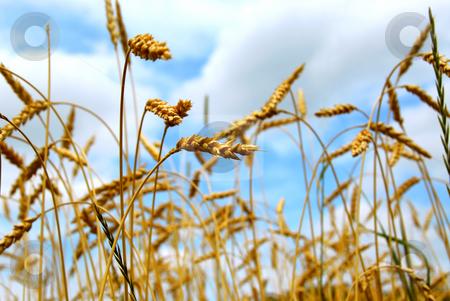 Grain field stock photo, Close up on grain ready for harvest growing in a farm field by Elena Elisseeva