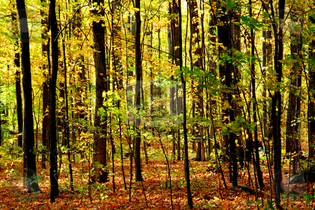 Fall forest landscape stock photo, Colorful young fall forest glowing in sunlight by Elena Elisseeva