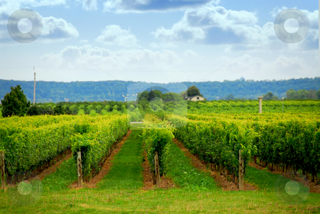 Vineyard stock photo, Rows of grape vines in a field by Elena Elisseeva