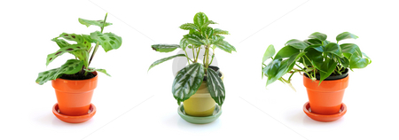 Assorted houseplants stock photo, Assorted green houseplants in pots isolated on white background by Elena Elisseeva
