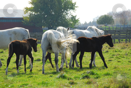 Horses stock photo, Horses on a ranch  - mares with colts by Elena Elisseeva