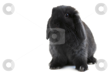 Bunny rabbit stock photo, Black holland lop bunny rabbit isolated on white background by Elena Elisseeva