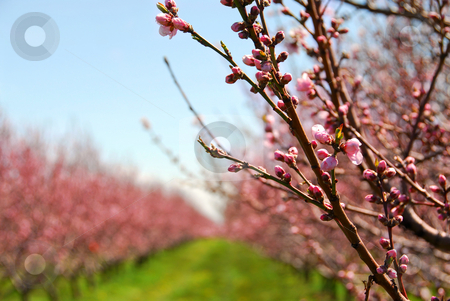 Fruit orchard stock photo, Rows of blooming peach trees in a spring orchard by Elena Elisseeva