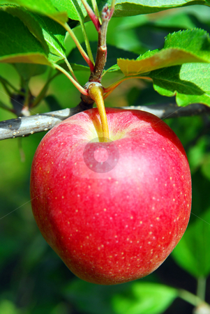 Apple on a tree stock photo, Closeup on big ripe red apple growing on an apple tree by Elena Elisseeva