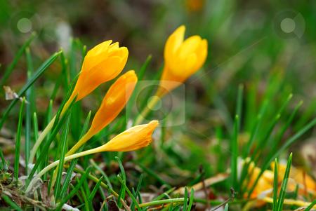 Crocus stock photo, Macro image of a yellow crocus flowers blooming in early spring by Elena Elisseeva