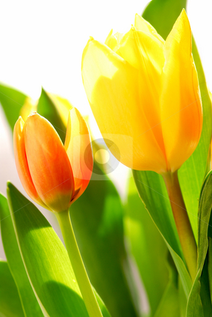 Tulips stock photo, Close up on fresh backlit tulips on white background by Elena Elisseeva