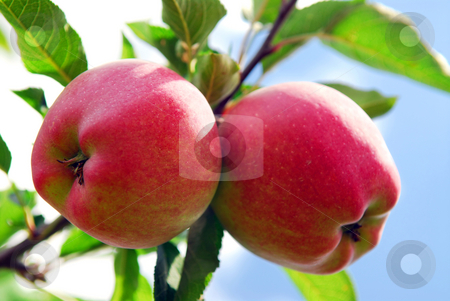 Apples stock photo, Ripe red apples on a apple tree branch in an orchard by Elena Elisseeva