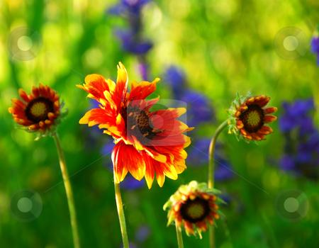 Indain blanket flowers stock photo, Wildflowers indian blankets blooming in a sunlit green meadow by Elena Elisseeva