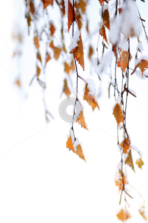 Snowy branches stock photo, Branches of a winter birch tree covered with snow, natural background by Elena Elisseeva