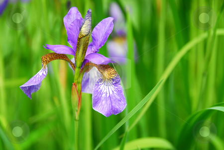 Single Iris stock photo, Beautiful purple irises blooming in spring time by Elena Elisseeva