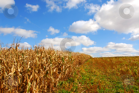 Rural landscape stock photo, Rural landscape with blue cloudy sky and corn by Elena Elisseeva