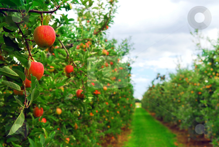 Apple orchard stock photo, Apple orchard with red ripe apples on the trees by Elena Elisseeva